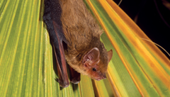Southern Yellow Bat - Lasiurus ega