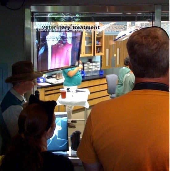 Hundreds watching flying fox veterinary exam
