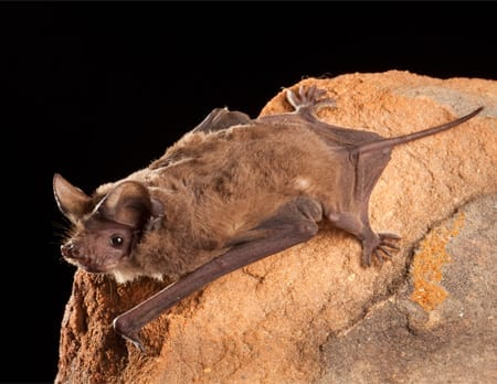 Mexican Free-tail Bat