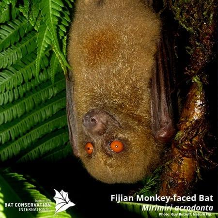 Fijian Monkey-feced bat - Mirimiri acrodonta