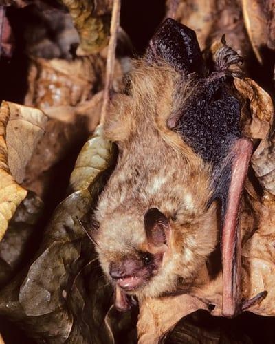 Tri-coloured bat