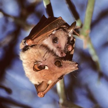 A mother Gambian epauletted fruit bat and her baby roost in a tree
