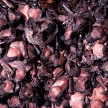 Mexican free-tailed bats roost in the nursery colony at Bracken Cave