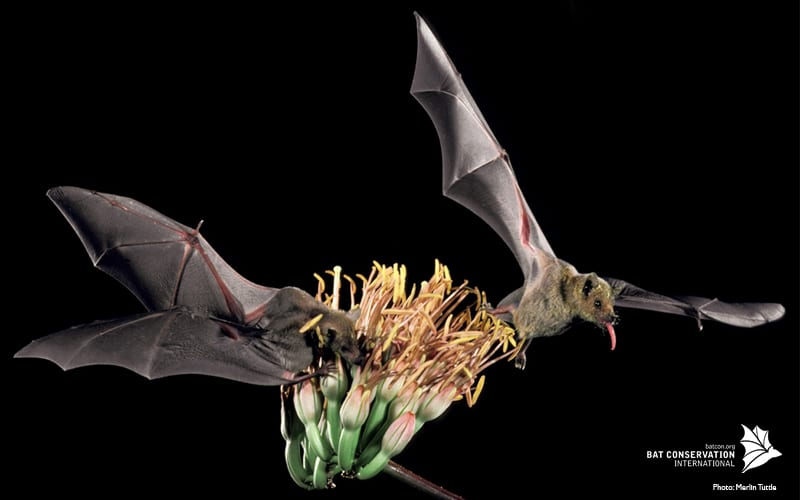 Two bats pollinating an agave plant