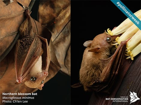 Northern Blossom Bat from Australia