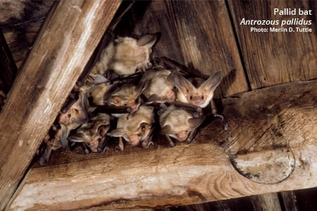 A small colony of pallid bats roosts in the rafters of a building.