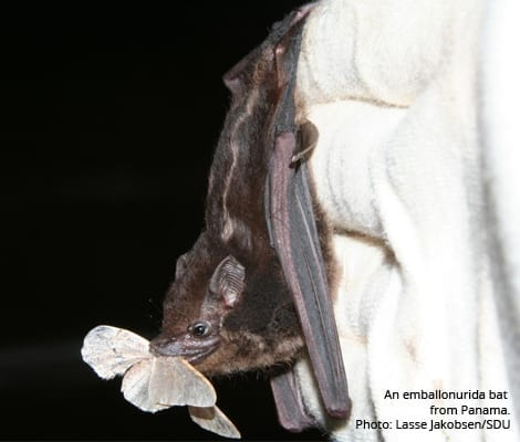 This is an emballonurida bat from Panama.