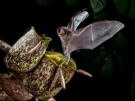 hardwicke's woolly bat