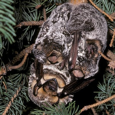 Hoary bat with twins