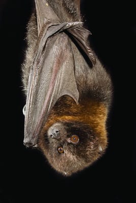 00427863Rodrigues Flying Fox Pteropus rodricensis Credit Michael Durham Minden Pictures