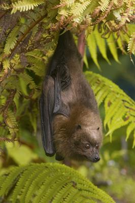 00480496 Rodrigues Flying Fox Pteropus rodricensis Credit Steve Gettle Minden Pictures