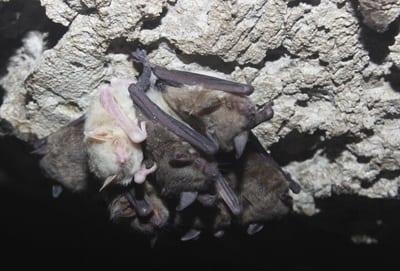 Albino cave myotis Myotis velifer Credit katie Gillies 1