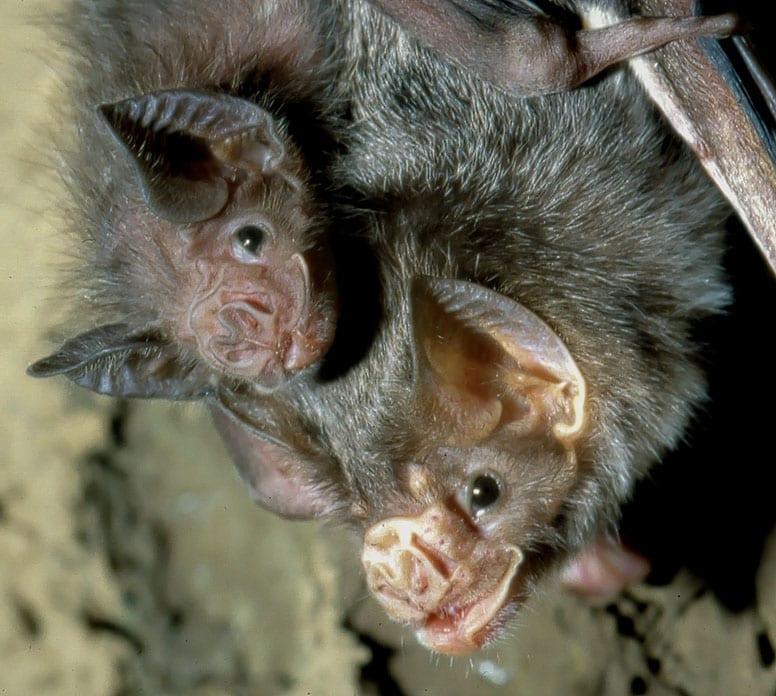 Common Vampire Bat Desmodus rotundus mother and juvenile credit Uwe Schmidt