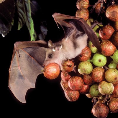 Gambian epauletted fruit bat