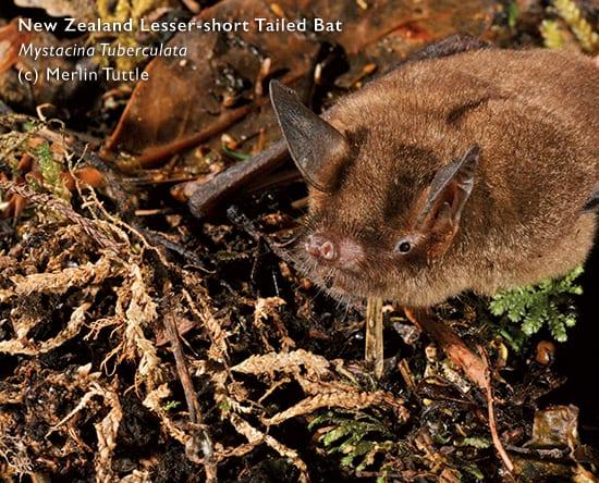 New Zealand Bat