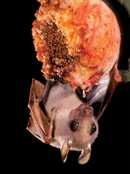 Peters dwarf epauletted fruit bat