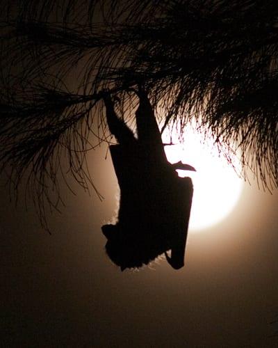 Ryukyu flying fox